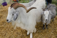 cashmere goat with kid