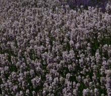 Lavender-web-smaller-2836