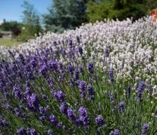 Lavender-web-smaller-2837