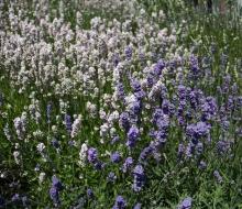 Lavender-web-smaller-2838