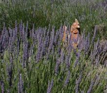 Lavender-web-smaller-2858