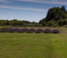 Lavender-web-smaller-2859