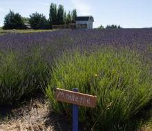 Lavender-web-smaller-2862