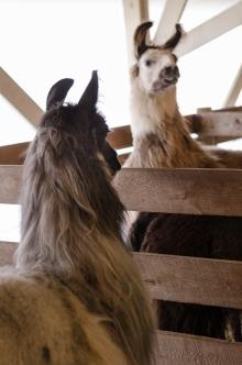 alpacas converse