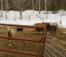 Goats liked the company
