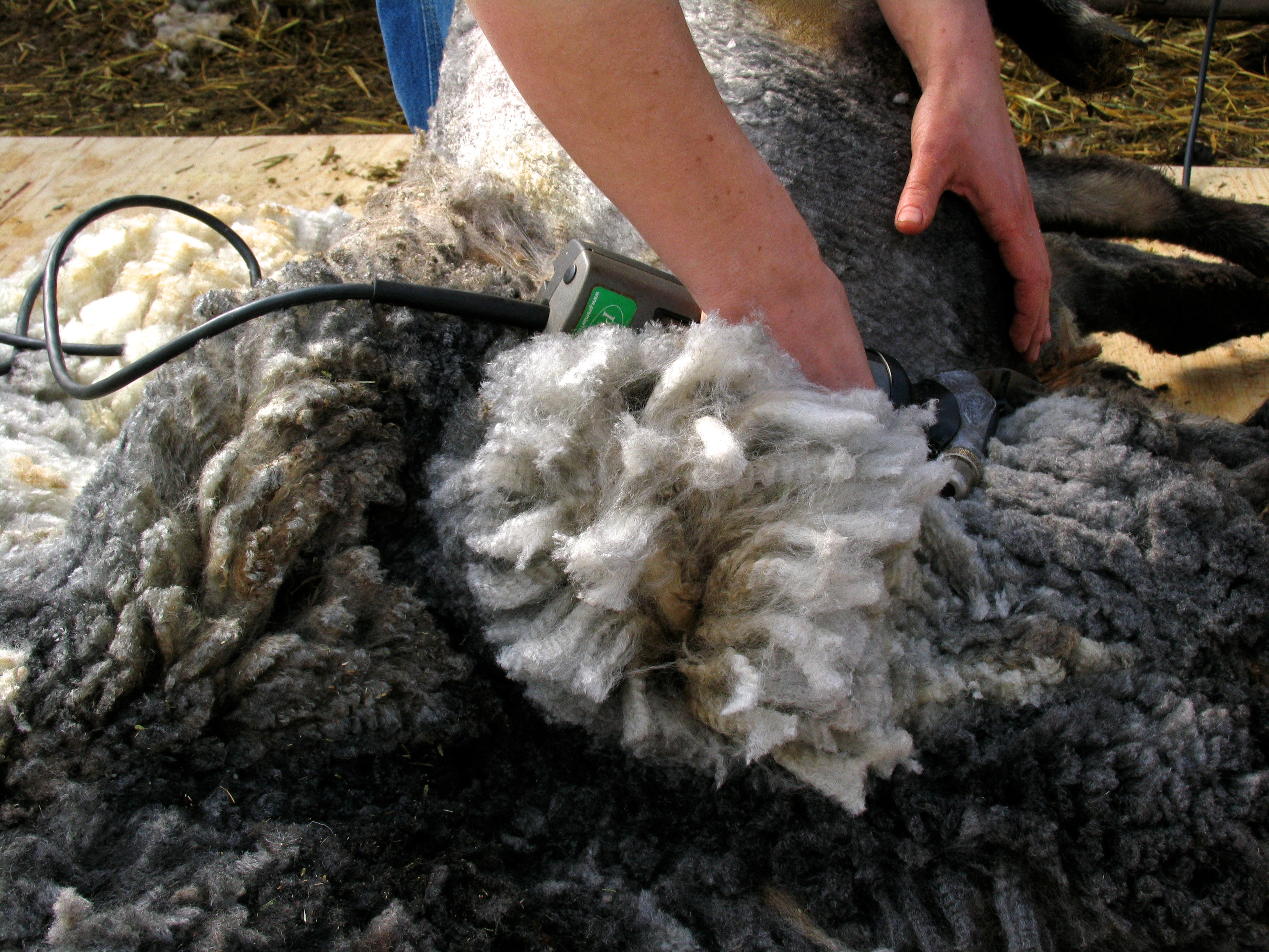 hands of the shearer are clipping black and white fleece